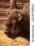 Small photo of An American Bison