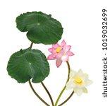 beautiful lotus flowers... | Shutterstock . vector #1019032699