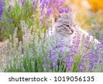 wild cat is sitting in lavender ... | Shutterstock . vector #1019056135