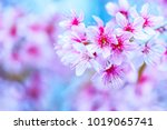 Pink Cherry Blossoms Are...