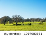 cattle in pasture with oak... | Shutterstock . vector #1019083981