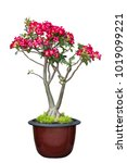 Small photo of Desert Rose, Adenium tree is in a earthen pot, isolate on white background with clipping path. flower white background.