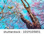 cherry blossom trees in...   Shutterstock . vector #1019105851