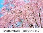 sakura cherry blossoms tree in... | Shutterstock . vector #1019143117