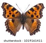 large tortoiseshell butterfly ... | Shutterstock . vector #1019161411