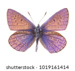 Stock photo female common blue butterfly polyommatus icarus isolated on a white background 1019161414