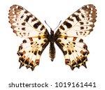 caucasian festoon butterfly ... | Shutterstock . vector #1019161441
