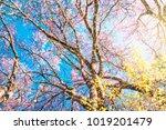 beautiful tree view cherry...   Shutterstock . vector #1019201479