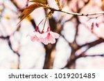 shot of beautiful cherry...   Shutterstock . vector #1019201485