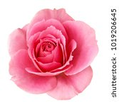 Stock photo romance valentine pink rose flower top view white background isolated with saved clipping path 1019206645