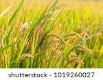 Golden Rice Paddy Rice Harvest...