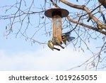 great tits on bird feeder on... | Shutterstock . vector #1019265055