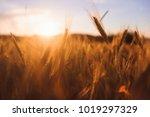 rye spikes wheat on the field... | Shutterstock . vector #1019297329