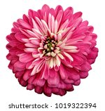 Stock photo chrysanthemum bright pink flower on white isolated background with clipping path closeup no 1019322394