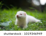 Young Ferret In The Grass