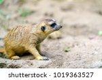 meerkat or suricate  suricata...   Shutterstock . vector #1019363527