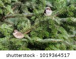 sparrows in a fir tree. the... | Shutterstock . vector #1019364517