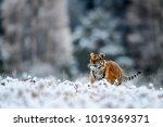 siberian tiger  panthera tigris ... | Shutterstock . vector #1019369371