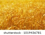 fields of wheat at the end of... | Shutterstock . vector #1019436781