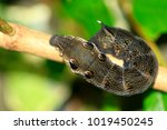 elephant hawk moth | Shutterstock . vector #1019450245