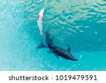 two dolphins in captivity seen... | Shutterstock . vector #1019479591