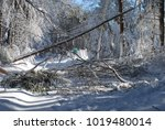 Many Large Trees That Fell Over ...