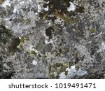 texture of old natural mossy... | Shutterstock . vector #1019491471