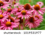 Pink Echinacea Flowers. Close...