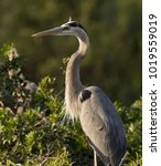 Small photo of great blue heron