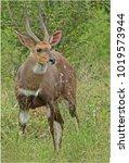african male bushbuck | Shutterstock . vector #1019573944