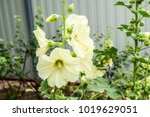 flowers mallow. flowering... | Shutterstock . vector #1019629051