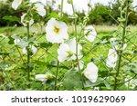flowers mallow. flowering... | Shutterstock . vector #1019629069