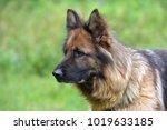 beautiful young brown german... | Shutterstock . vector #1019633185