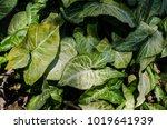 green leaf leaves background... | Shutterstock . vector #1019641939