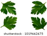 fresh green parsley leaves herb ... | Shutterstock . vector #1019662675