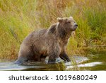 a brown or grizzly bear in the... | Shutterstock . vector #1019680249