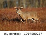 A white-tailed deer standing in a meadow