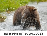 a brown or grizzly bear in the... | Shutterstock . vector #1019680315