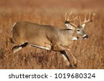 A White Tailed Deer Running In...