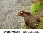 a brown or grizzly bear fishing ... | Shutterstock . vector #1019680339