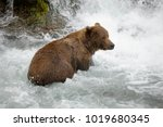 a brown or grizzly bear in the... | Shutterstock . vector #1019680345