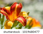 Flowering Bright Daylily In...