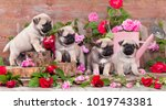 Stock photo puppy pug and flowers roses 1019743381