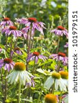 White And Pink Coneflowers In...