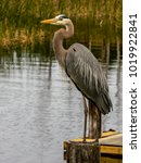 A Blue Heron Sitting On A Post...