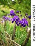 Spring Time  Blue Iris Flowers...