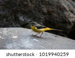 Small photo of Grey Wagtail A wagging winter migrant in which most of the time people ignore to take photographs with because it can't keep still; it is a beautiful bird with its yellow belly display.