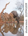 Small photo of A vertical, colour image of a herd of Nyala, Tragelaphus angasii, reflected in the pool they are drinking at in Karongwe Game Reserve, South Africa.