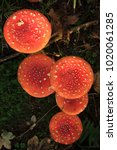 Small photo of Amanita Muscaria, poisonous mushroom Germany