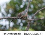 geopelia striata bird | Shutterstock . vector #1020066034